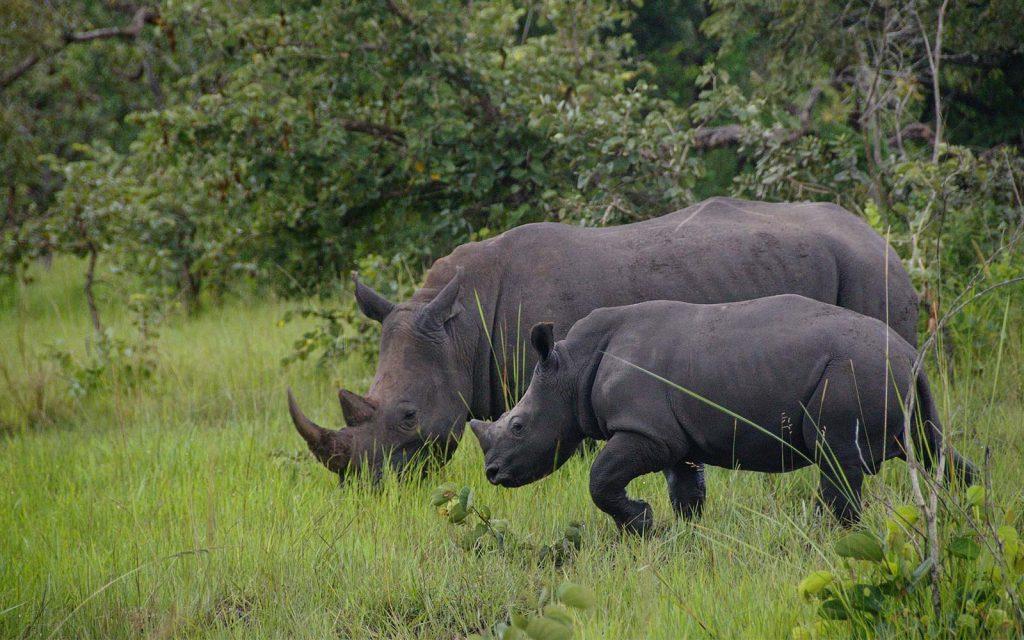 White Rhinos in Ziwa Rhino Sanctuary