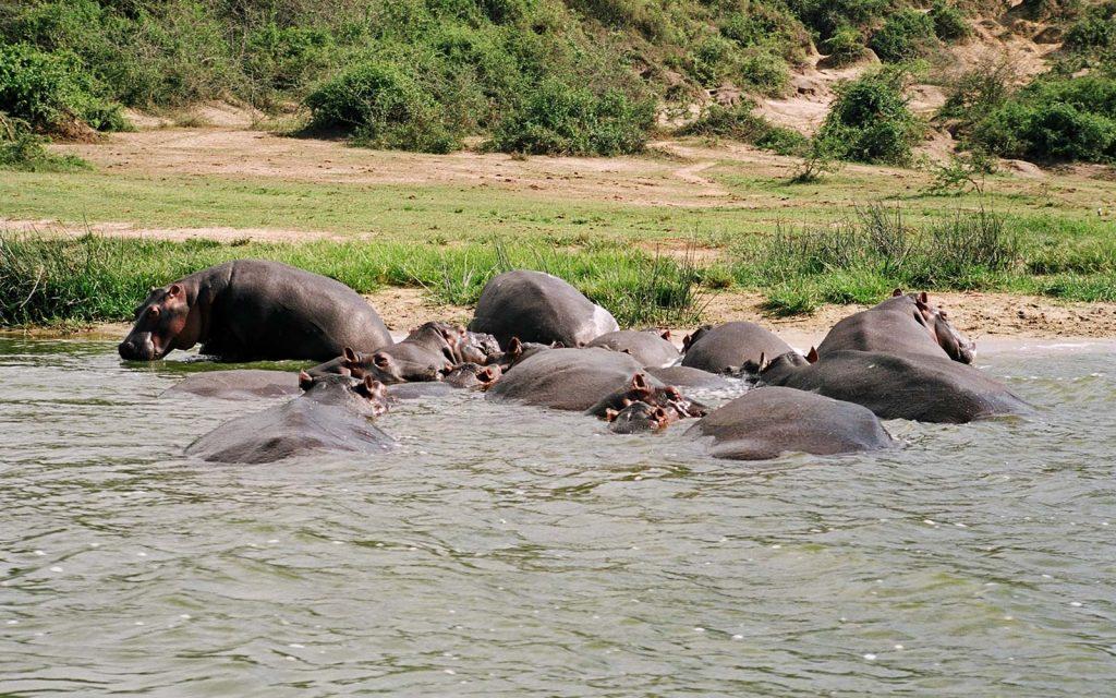 Hippos in Queen Elizabeth National Park