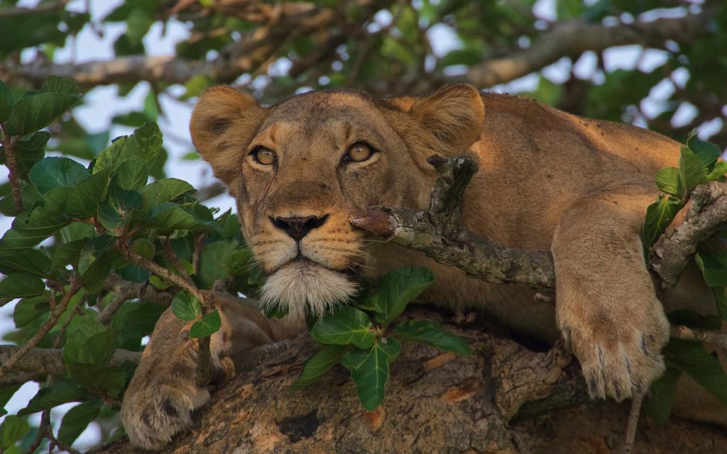 Tree climbing lions in Queen Elizabeth National Park of Uganda