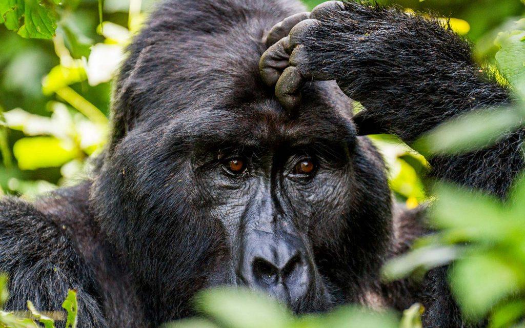 14 Day Rwanda Uganda Gorilla Safari