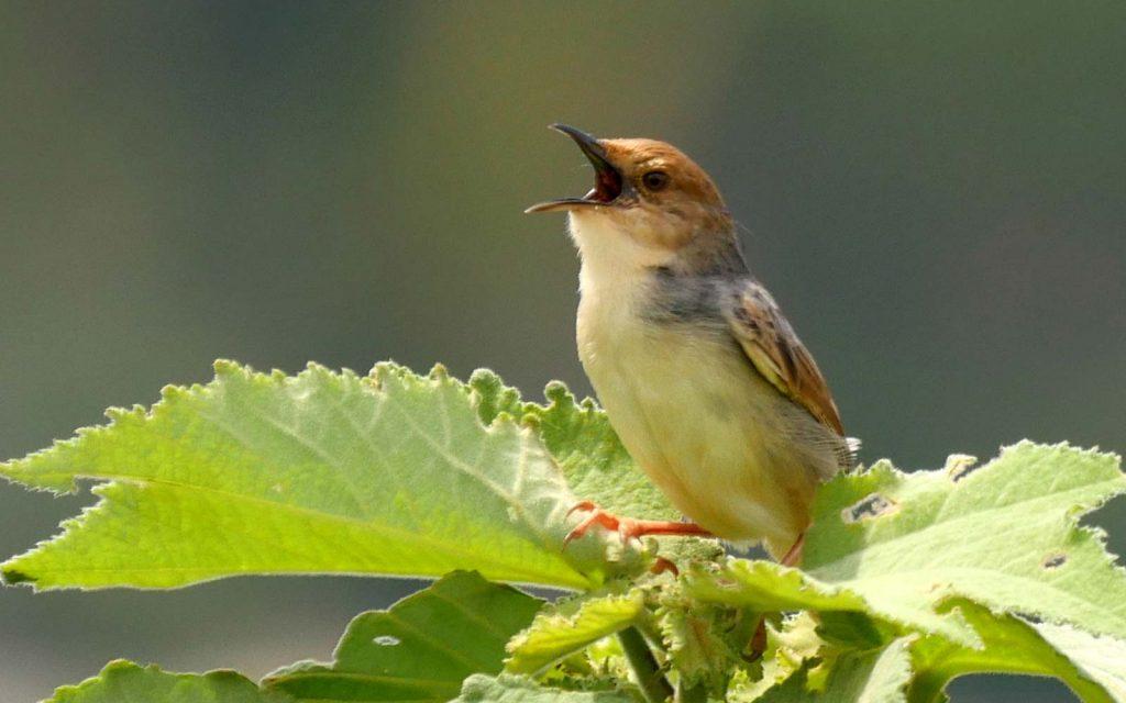 entebbe botacal gardens birding