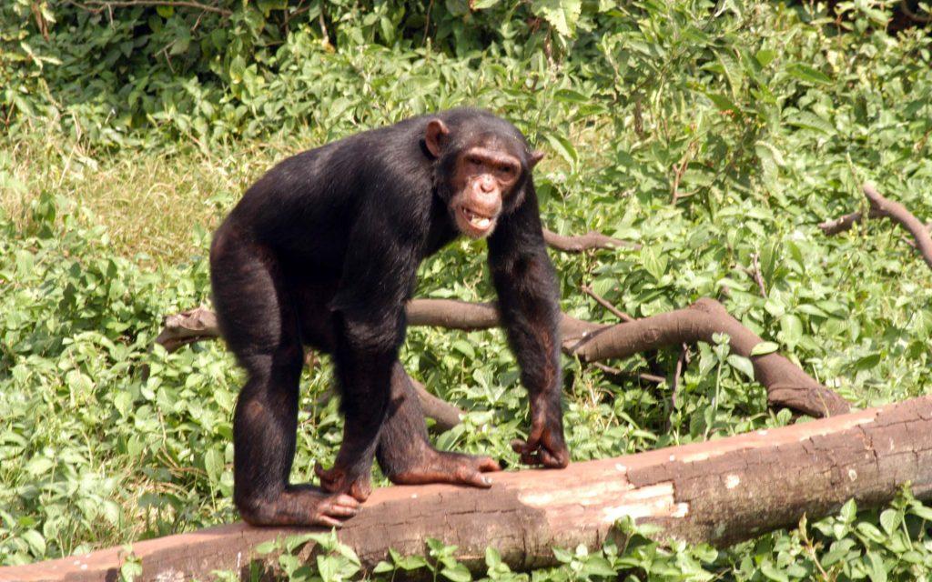 gamba island chimps