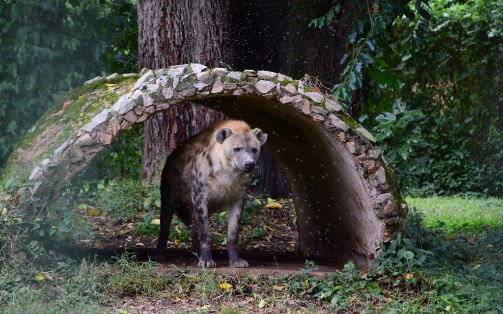 UWEc Hyena